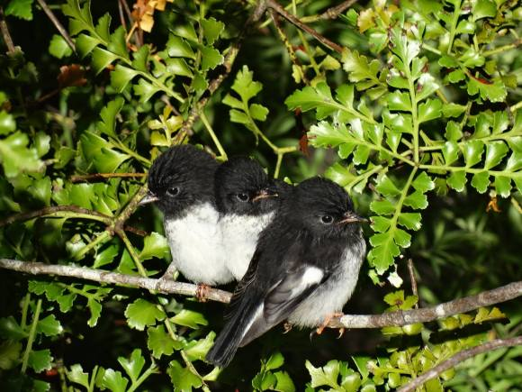 Baby miromiro/tomtits in Opua State Forest. Photo: Bay Bush Action.