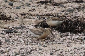 Dotterel family.