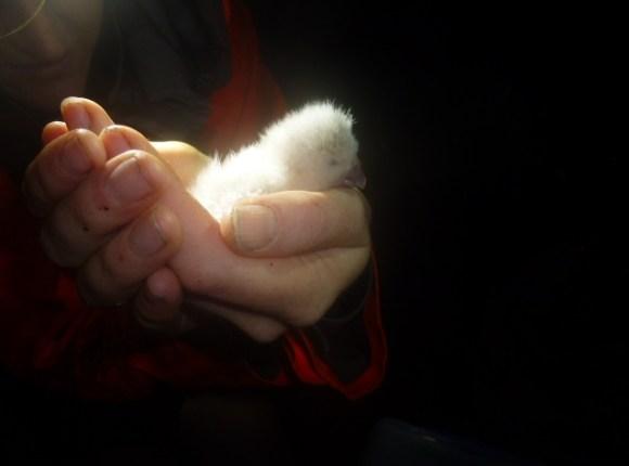 first-kakapo-chick