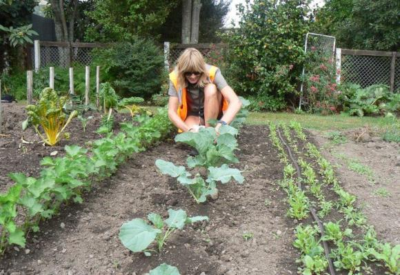 Amanda Jennings searches broccoli plants for caterpillars and eggs. Photo: Jaine Cronin.