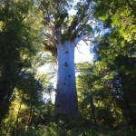 Tane Mahuta kauri tree. Photo: itravelNZ® | CC BY 2.0.