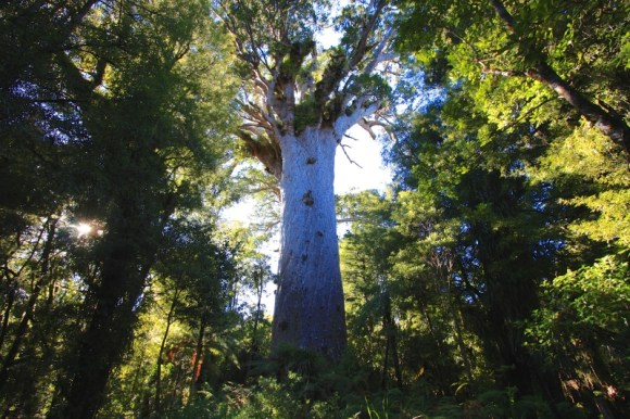 Tane Mahuta kauri tree. Photo: itravelNZ® | CC BY 2.0.
