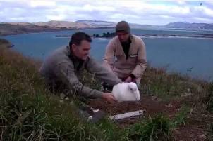 DOC rangers checking on the albatross chick.