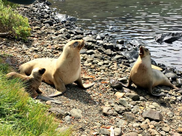 A special encounter with a sea lion and her pup – step back! Photo by Amelia Willis.