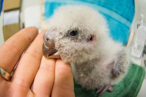 Kākāpō chick on Whenua Hou. Photo: Jake Osborne.
