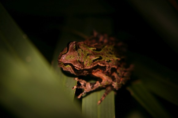 Archey's frog is a primitive and ancient species. Photo: Amanda Haigh.