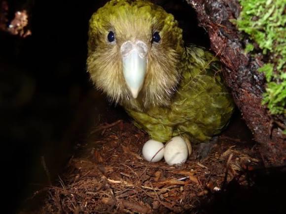 kakapo-kuia-on-nest-theo-thompson
