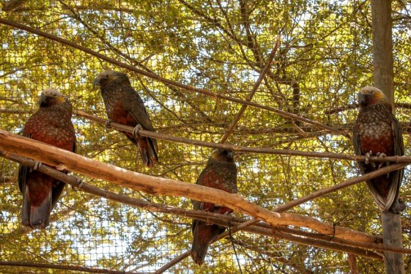 Kākā at Te Anau Bird Sanctuary, Manu, Mātai, Mahana and Moana.