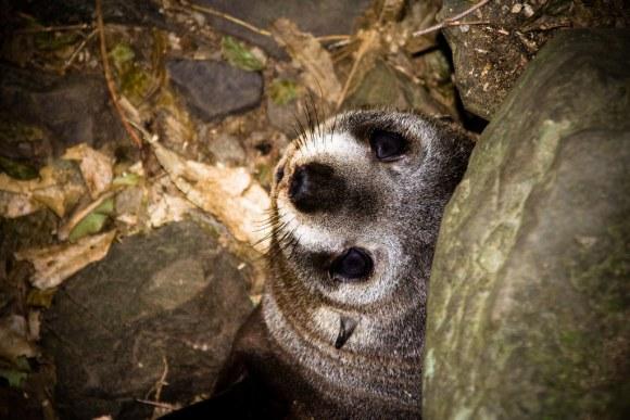 NZ fur seal pup at Ohau Stream. Photo by Aidan Wojtas | CC BY 2.0.