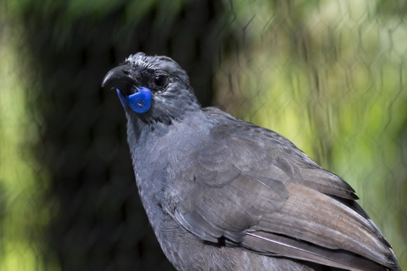 A female kōkako. Photo: Janice McKenna.