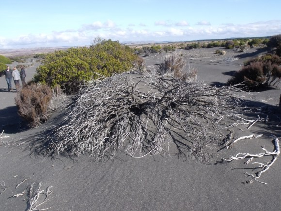 Plants die, and the dune formation process starts again.