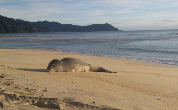 A leopard seal was a surprise first visitor to the new national park land. Photo Amanda Harvey.