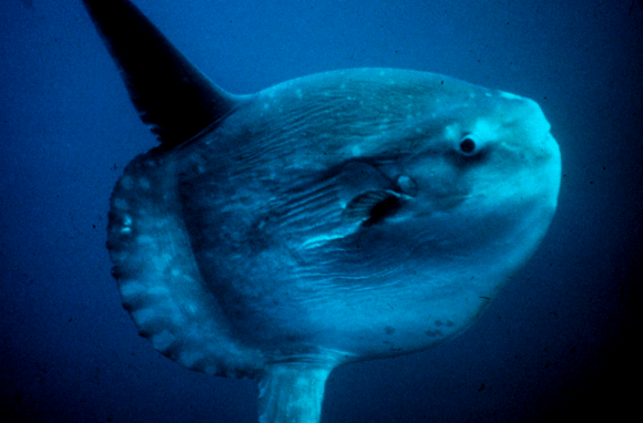 A large ocean sunfish.