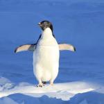 Adélie penguin.
