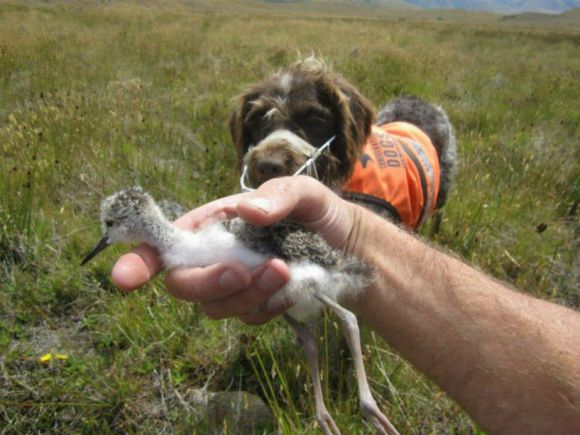 Jazz discovers a kakī chick.