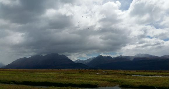 Released kakī flying high above the Tasman River. Photo: Sally Jones.