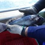 Blue cod.