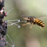 Wasp eating honeydew.