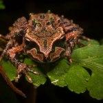 Archey's frog.