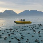 Rubber boat with a raft of Hutton's shearwaters swimming off Kai