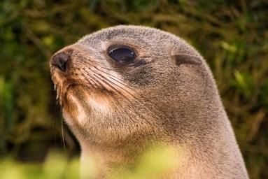 NZ fur seal. Photo: DOC