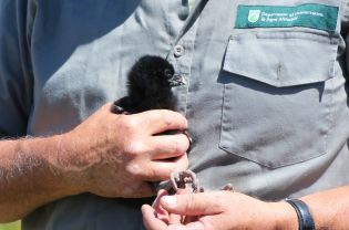 Fluffy black chick. Photo: Karlene Taylor