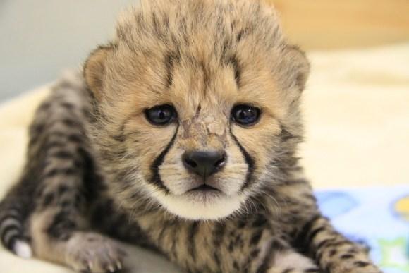 Cheetah cub at Orana Wildlife Park.