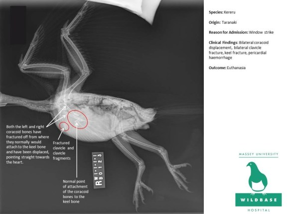 Annotated patient X-ray from Wildbase Hospital