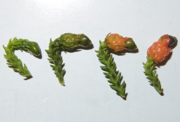 Various stages of rimu fruit developing.
