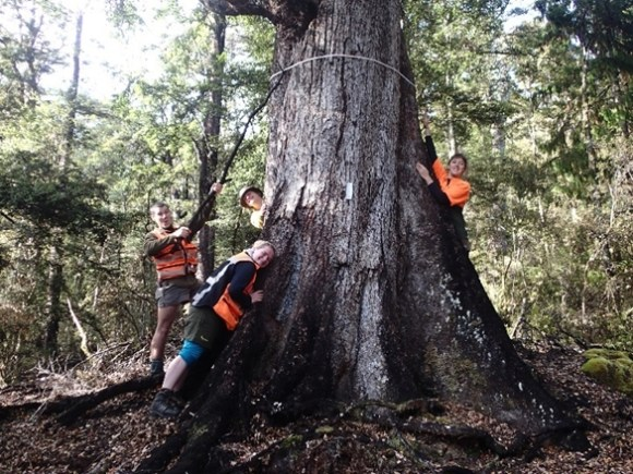 It takes teamwork to measure the diameter of this very large beech tree at Lake Rotoro. Photo: Jane Gosden.