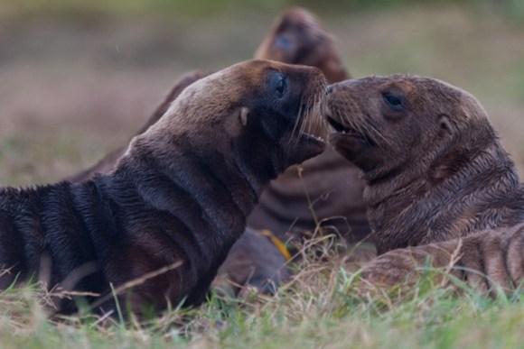 New Zealand sea lion pups.
