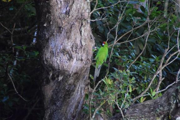 Kakariki feeding its chick. Photo: Jennifer Ross (DOC)