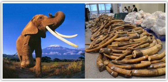 Elephant and ivory. CITES website.