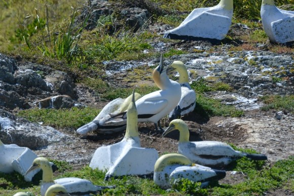 Nigel the 'lonely' gannet became internationally famous for courting his concrete mate at the concrete gannet colony on Mana Island. 📷: Christopher Stephens.