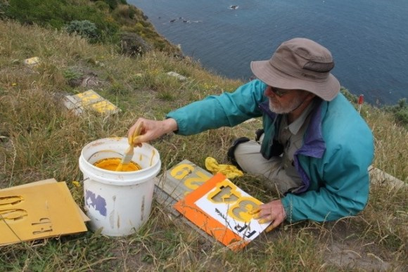 Fairy prion burrows being numbered by volunteer Dale Shirtliff, ready for the translocation of chicks from Takapourewa Stephens Island – December 2014. 📷: David Cornick.