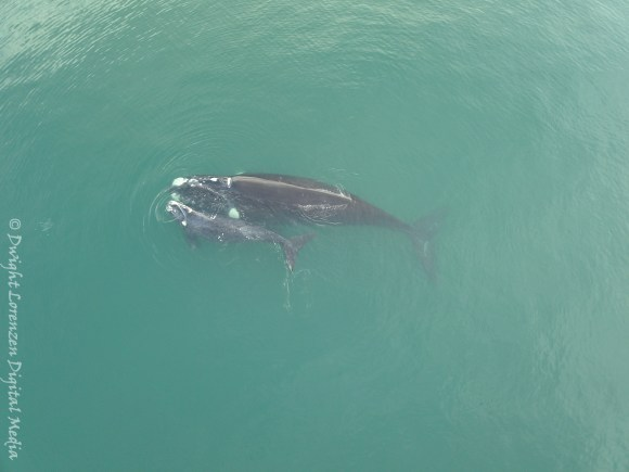 Southern right whale mother and calf seen in Wellington Harbour in August. Note photo was taken in breach of Marine Mammals Protection Regulations –drones cannot be flown closer than 150m from any marine mammal without a permit.