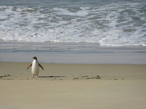 Yellow eyed penguin returning from the sea, Hannah Hendriks, Crown Copyright