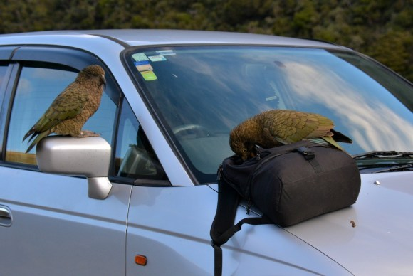 Kea on car