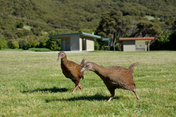 Weka at campsite