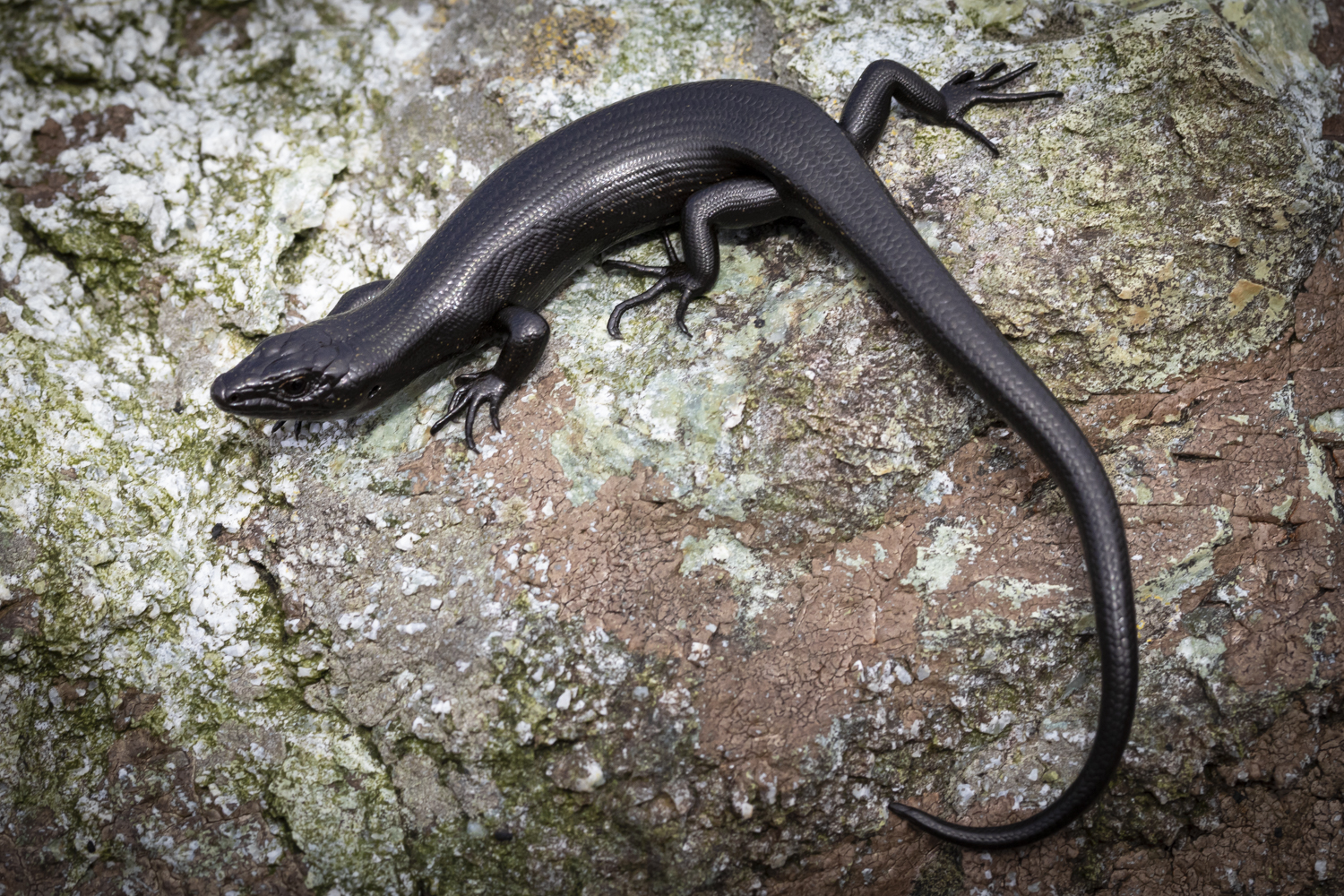 Fiordland skink – what do we know about the species?