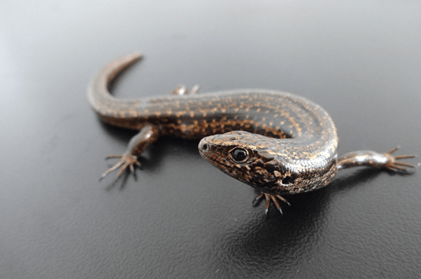 Chesterfield skink – how have they fared since Cyclone Fehi