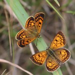 Copper butterflies. Photo: Lloyd Mander.