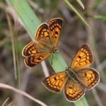 Copper butterflies. Photo: Lloyd Mander.