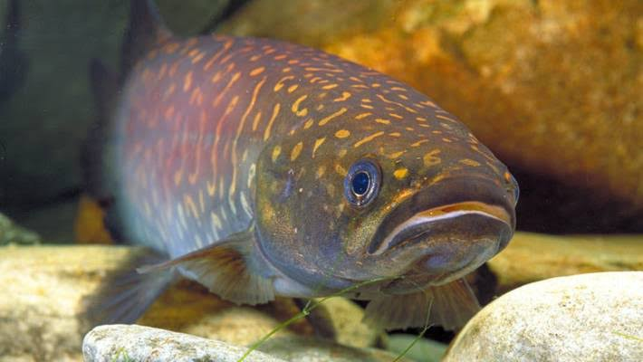 World Fish Migration Day – celebrating our fabulous freshwater fish
