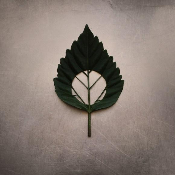 Sarah Matthew, 'Full Circle II – Hibiscus leaf on kitchen bench', temporary installation