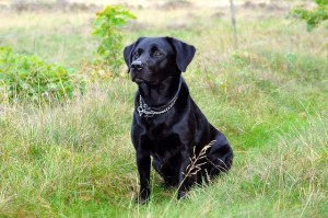 Labrador retriever i naturen