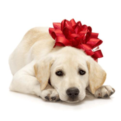 buy puppy