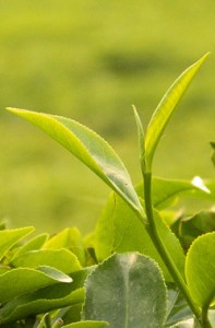 Two leaves and a bud of camellia sinensis (tea) plant contain the most caffeine of any part of the plant.