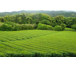 Tea Garden in Chagusaba Region of Shizuoka Japan