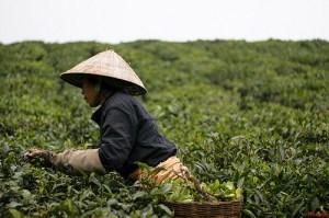 Tea picker in plantation in Vietnam.